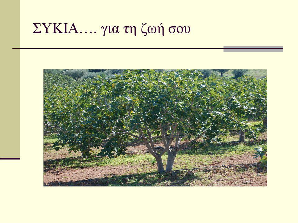 ΚΑΤΑΓΩΓΗ ΚΑΙ ΔΙΑΔΟΣΗ ΤΗΣ ΣΥΚΙΑΣ  Η καλλιέργεια της συκιάς (Ficus carica), ανάγεται στους προϊστορικούς χρόνους και η καταγωγή της είναι, πιθανότατα, η Ασία  Απολιθωμένα και σε πολύ καλή κατάσταση διατηρημένα σύκα βρέθηκαν στην κοιλάδα του Ιορδάνη  Φαίνεται πως η καλλιέργεια της συκιάς ήταν η πρώτη μορφή οικιακής καλλιέργειας στην ιστορία του ανθρώπινου γένους.