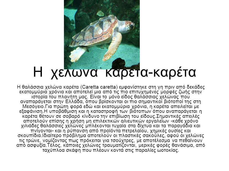 Η χελώνα καρέτα-καρέτα Η θαλάσσια χελώνα καρέτα (Caretta caretta) εμφανίστηκε στη γη πριν από δεκάδες εκατομμύρια χρόνια και αποτελεί μια από τις πιο