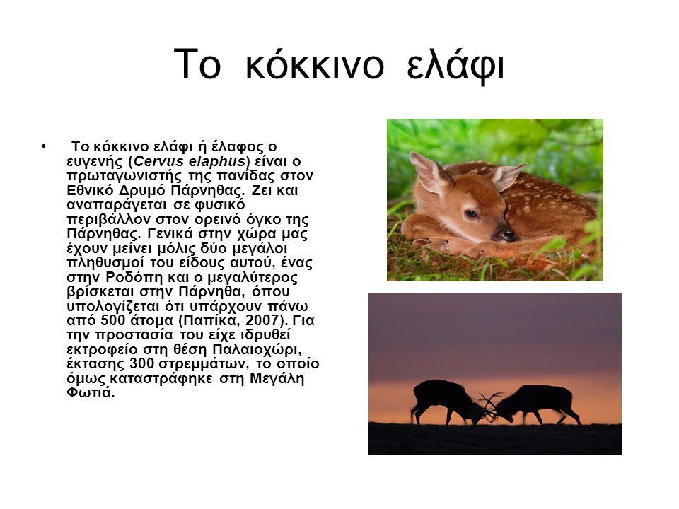 Το κόκκινο ελάφι • Το κόκκινο ελάφι ή έλαφος ο ευγενής (Cervus elaphus) είναι ο πρωταγωνιστής της πανίδας στον Εθνικό Δρυμό Πάρνηθας. Ζει και αναπαράγ