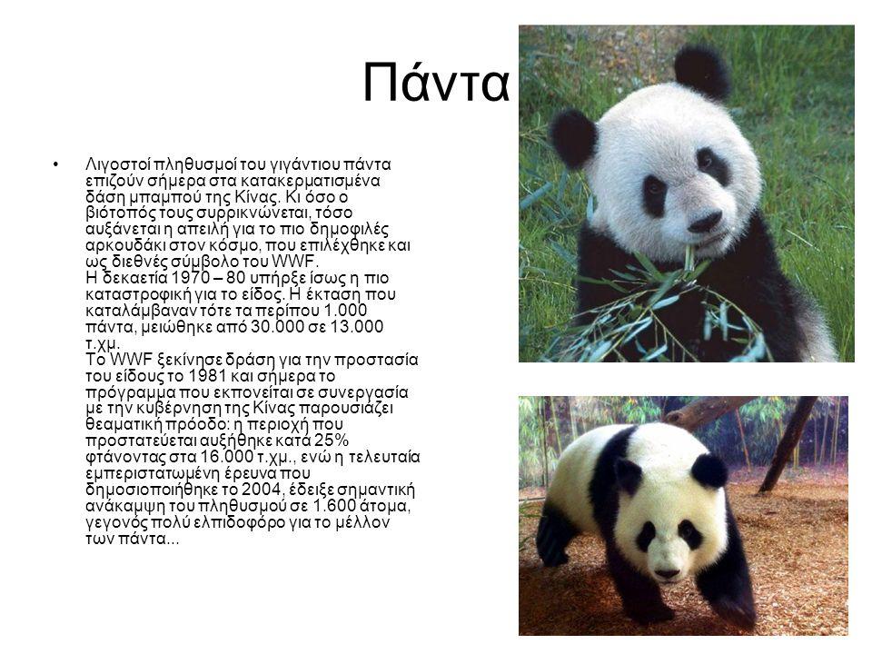 Πάντα •Λιγοστοί πληθυσμοί του γιγάντιου πάντα επιζούν σήμερα στα κατακερματισμένα δάση μπαμπού της Κίνας. Κι όσο ο βιότοπός τους συρρικνώνεται, τόσο α