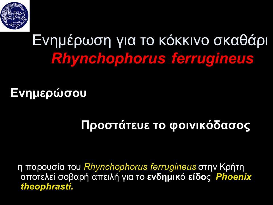Ενημέρωση για το κόκκινο σκαθάρι Rhynchophorus ferrugineus Ενημερώσου Προστάτευε το φοινικόδασος η παρουσία του Rhynchophorus ferrugineus στην Κρήτη α