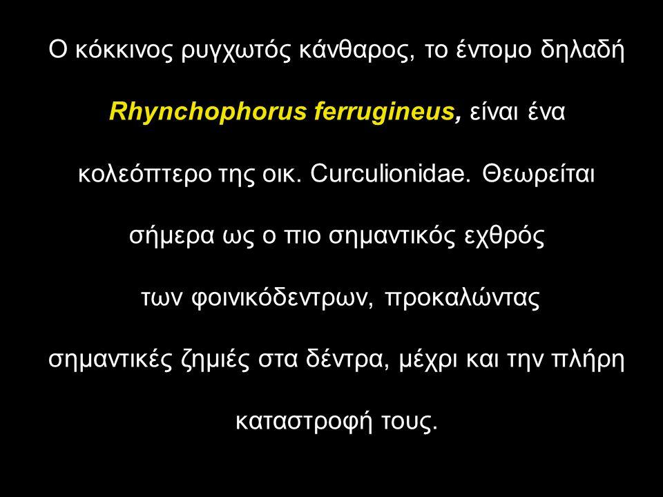 Ο κόκκινος ρυγχωτός κάνθαρος, το έντομο δηλαδή Rhynchophorus ferrugineus, είναι ένα κολεόπτερο της οικ. Curculionidae. Θεωρείται σήμερα ως ο πιο σημαν