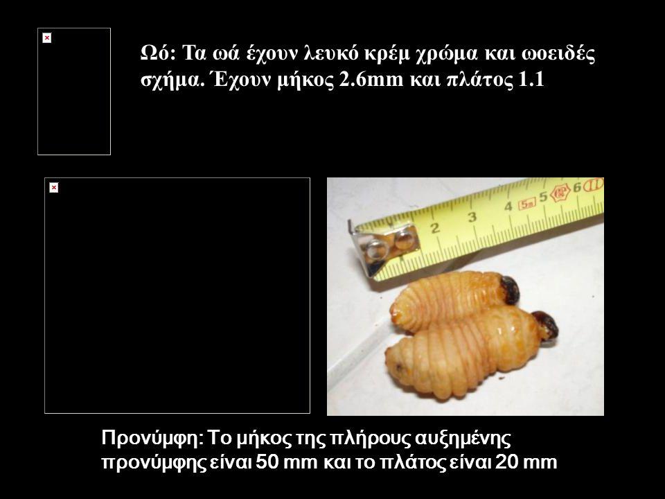 Ωό: Τα ωά έχουν λευκό κρέμ χρώμα και ωοειδές σχήμα. Έχουν μήκος 2.6mm και πλάτος 1.1 mm Προνύμφη: Το μήκος της πλήρους αυξημένης προνύμφης είναι 50 mm