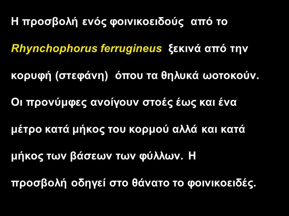 Η προσβολή ενός φοινικοειδούς από το Rhynchophorus ferrugineus ξεκινά από την κορυφή (στεφάνη) όπου τα θηλυκά ωοτοκούν. Οι προνύμφες ανοίγουν στοές έω