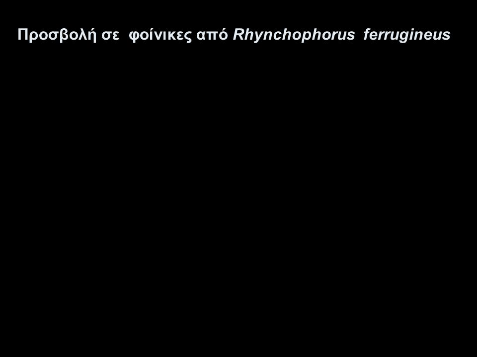 Προσβολή σε φοίνικες από Rhynchophorus ferrugineus