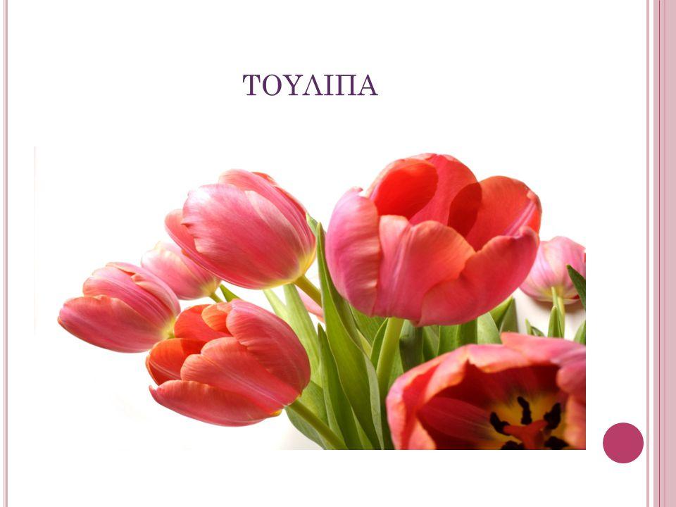 Αγγειόσπερμο, μονοκοτυλήδονο φυτό η τουλίπα ανήκει στην τάξη Λειριώδη και στην οικογένεια Λειριοειδή.