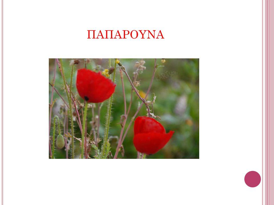 Αγγειόσπερμο, δικότυλο, ποώδες φυτό η παπαρούνα ανήκει στην τάξη των Μηκωνωδών και στην οικογένεια Μηκωνοειδών.