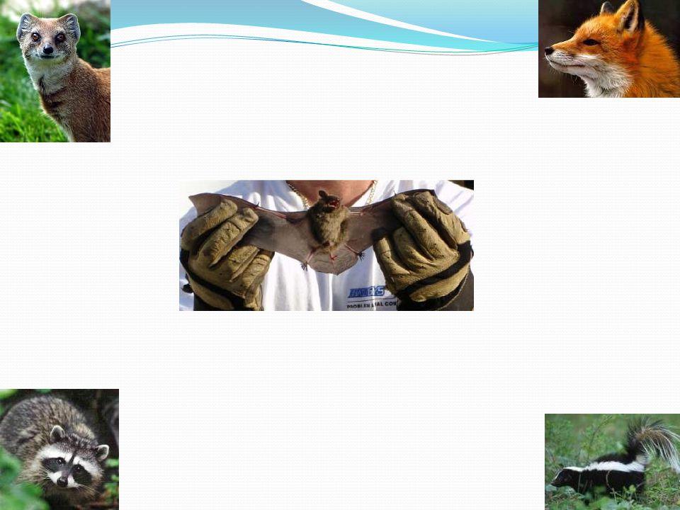 Μπορεί να πει κάποιος ότι ένα ζώο δεν έχει λύσσα;;;  Κανείς δεν μπορεί να διαγνώσει το πάσχων ζώο πριν την εκδήλωση της νόσου.