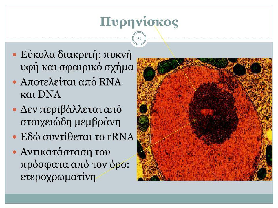 Πυρηνίσκος 22  Εύκολα διακριτή: πυκνή υφή και σφαιρικό σχήμα  Αποτελείται από RNA και DNA  Δεν περιβάλλεται από στοιχειώδη μεμβράνη  Εδώ συντίθεται το rRNA  Αντικατάσταση του πρόσφατα από τον όρο: ετεροχρωματίνη
