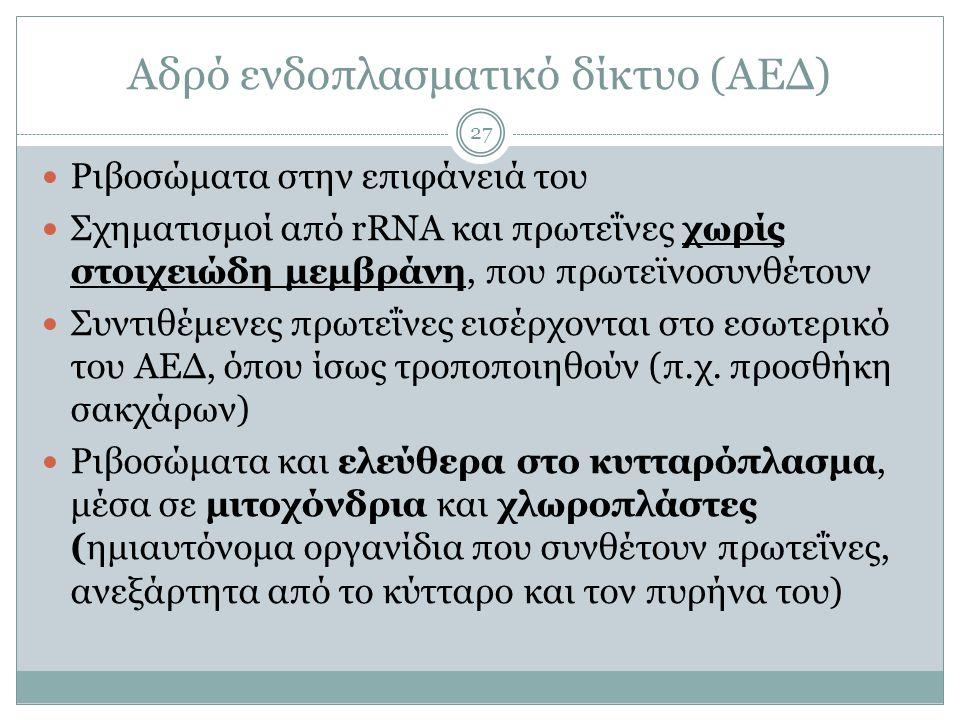 Αδρό ενδοπλασματικό δίκτυο (ΑΕΔ) 27  Ριβοσώματα στην επιφάνειά του  Σχηματισμοί από rRNA και πρωτεΐνες χωρίς στοιχειώδη μεμβράνη, που πρωτεϊνοσυνθέτουν  Συντιθέμενες πρωτεΐνες εισέρχονται στο εσωτερικό του ΑΕΔ, όπου ίσως τροποποιηθούν (π.χ.
