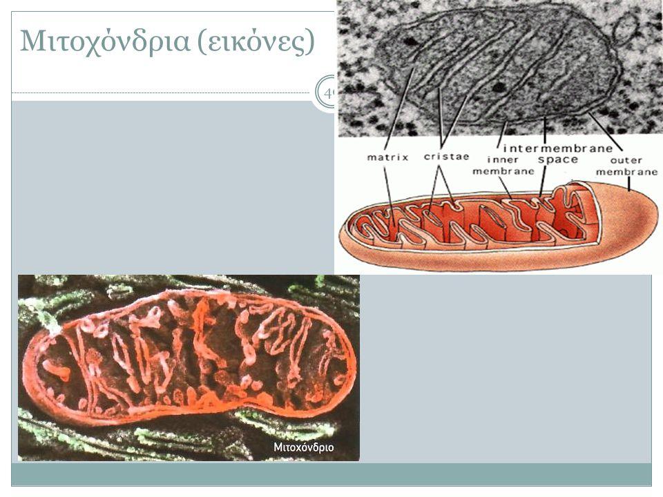 Μιτοχόνδρια (εικόνες ) 40