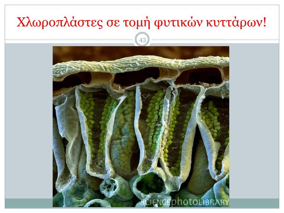 Χλωροπλάστες σε τομή φυτικών κυττάρων! 43