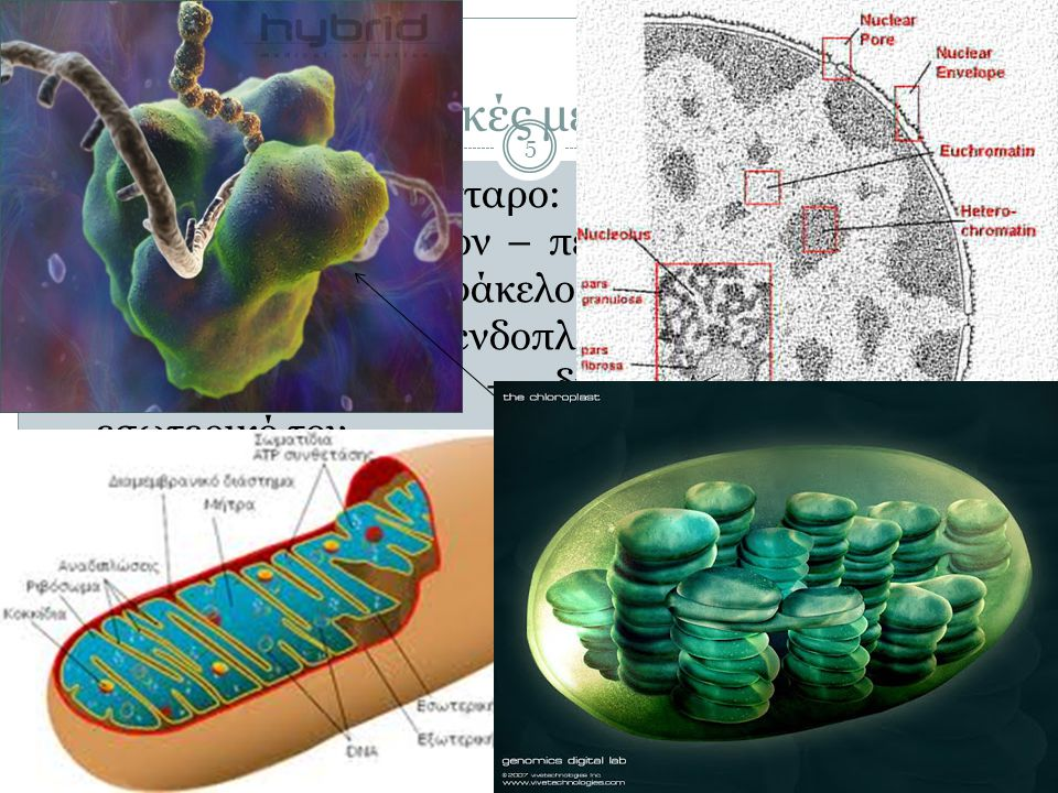 Πλαστίδια 46  Χλωροπλάστες: ανήκουν σε ευρύτερη κατηγορία οργανιδίων των φυτικών κυττάρων, τα πλαστίδια  Αμυλοπλάστες (άχρωμοι): σε κύτταρα ριζών – αποθήκες αμύλου  Χρωμοπλάστες: σε άνθη, φύλλα και καρπούς – περιέχουν χρωστικές