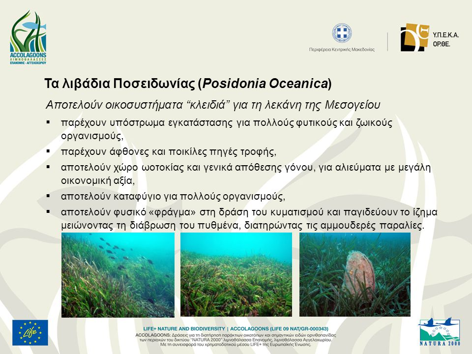 """Τα λιβάδια Ποσειδωνίας (Posidonia Oceanica) Aποτελούν οικοσυστήματα """"κλειδιά"""" για τη λεκάνη της Μεσογείου  παρέχουν υπόστρωμα εγκατάστασης για πολλού"""
