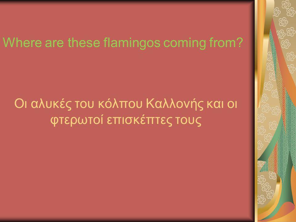 Οι αλυκές του κόλπου Καλλονής και οι φτερωτοί επισκέπτες τους Where are these flamingos coming from?