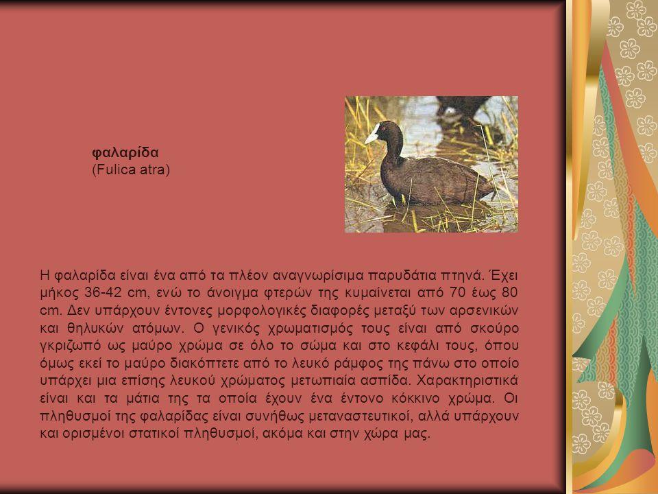 Η φαλαρίδα είναι ένα από τα πλέον αναγνωρίσιμα παρυδάτια πτηνά.