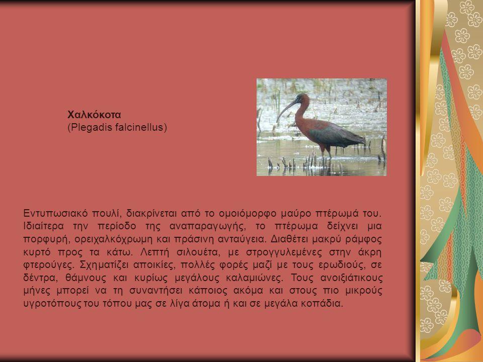 Εντυπωσιακό πουλί, διακρίνεται από το ομοιόμορφο μαύρο πτέρωμά του.