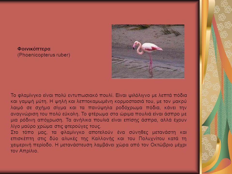 Το φλαμίνγκο είναι πολύ εντυπωσιακό πουλί.Είναι ψιλόλιγνο με λεπτά πόδια και γαμψή μύτη.