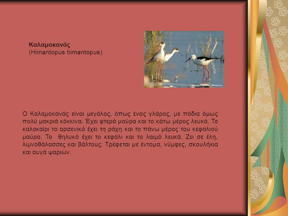 Ο Καλαμοκανάς είναι μεγάλος, όπως ένας γλάρος, με πόδια όμως πολύ μακριά κόκκινα.