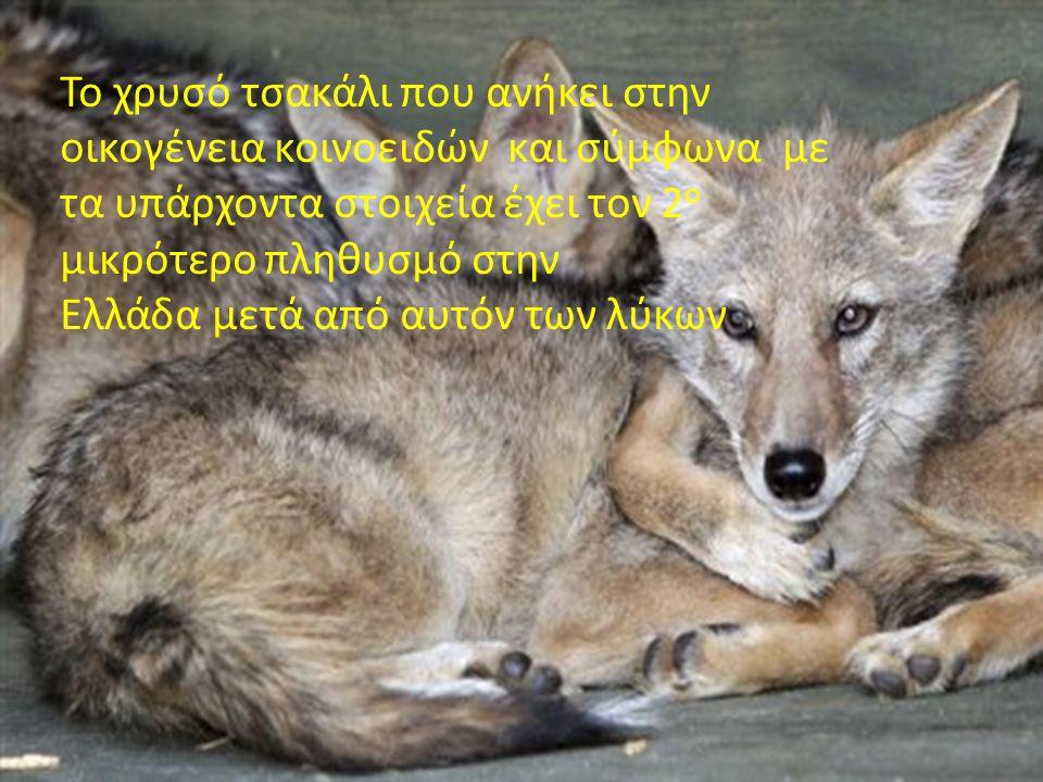 Το χρυσό τσακάλι που ανήκει στην οικογένεια κοινοειδών και σύμφωνα με τα υπάρχοντα στοιχεία έχει τον 2 ο μικρότερο πληθυσμό στην Ελλάδα μετά από αυτόν των λύκων