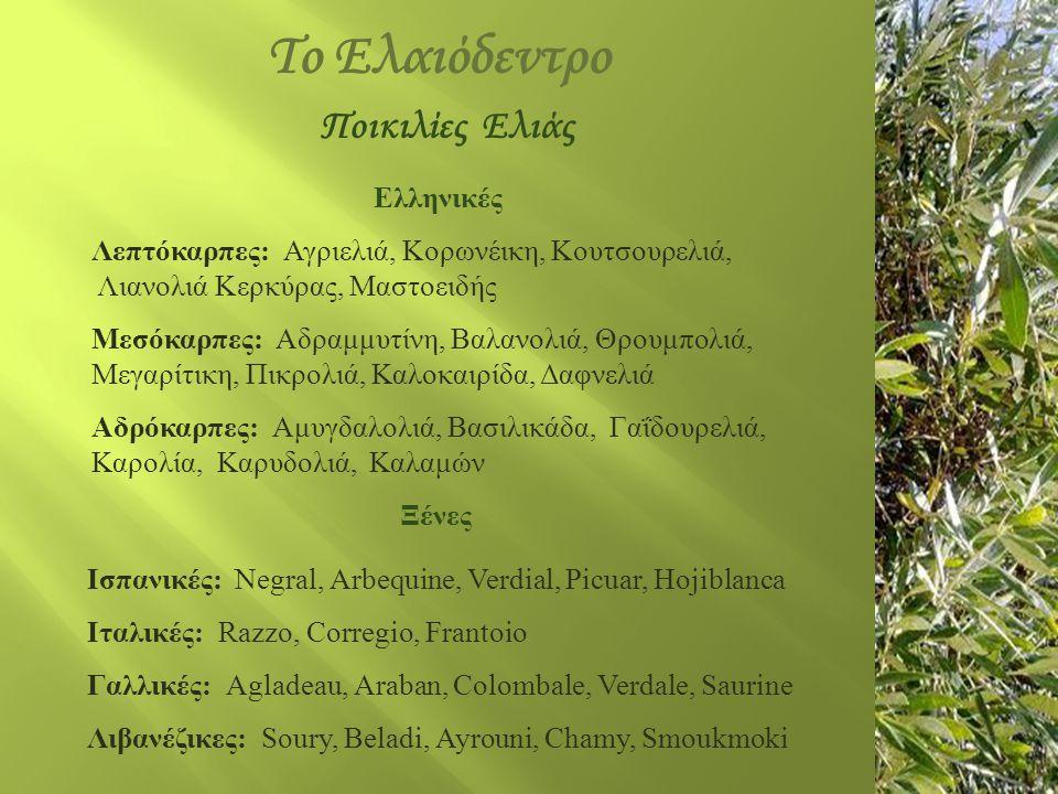 Το Ελαιόδεντρο Ελληνικές Λεπτόκαρπες: Αγριελιά, Κορωνέικη, Κουτσουρελιά, Λιανολιά Κερκύρας, Μαστοειδής Μεσόκαρπες: Αδραμμυτίνη, Βαλανολιά, Θρουμπολιά,
