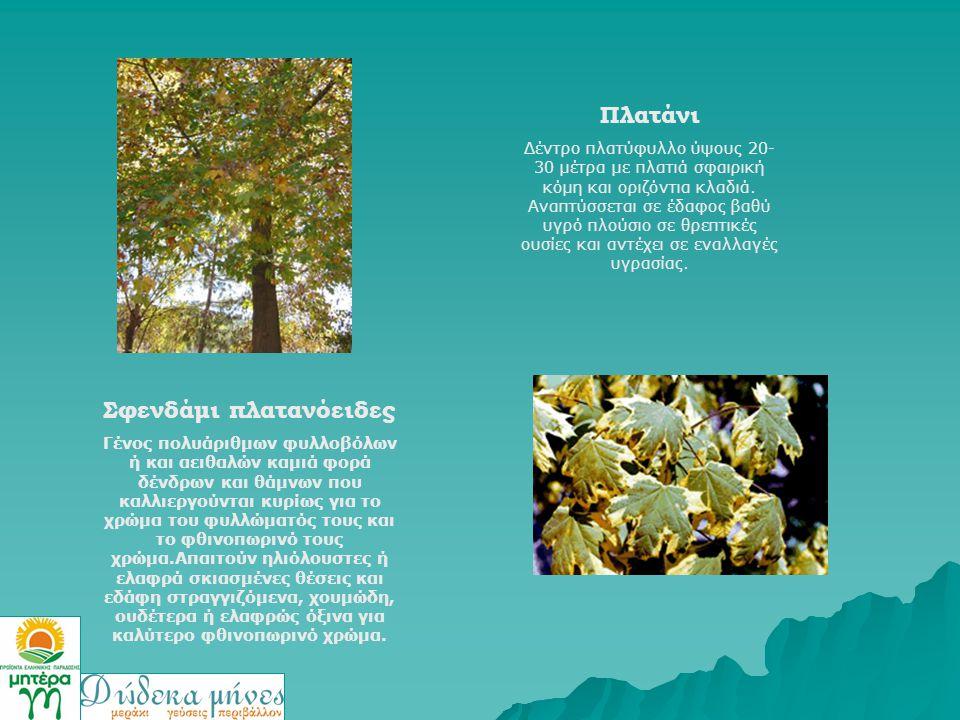 Πλατάνι Δέντρο πλατύφυλλο ύψους 20- 30 μέτρα με πλατιά σφαιρική κόμη και οριζόντια κλαδιά. Αναπτύσσεται σε έδαφος βαθύ υγρό πλούσιο σε θρεπτικές ουσίε