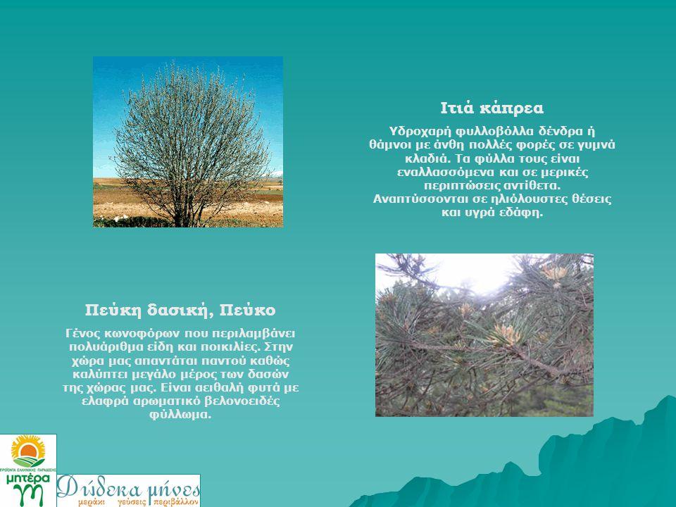 Ιτιά κάπρεα Υδροχαρή φυλλοβόλλα δένδρα ή θάμνοι με άνθη πολλές φορές σε γυμνά κλαδιά. Τα φύλλα τους είναι εναλλασσόμενα και σε μερικές περιπτώσεις αντ