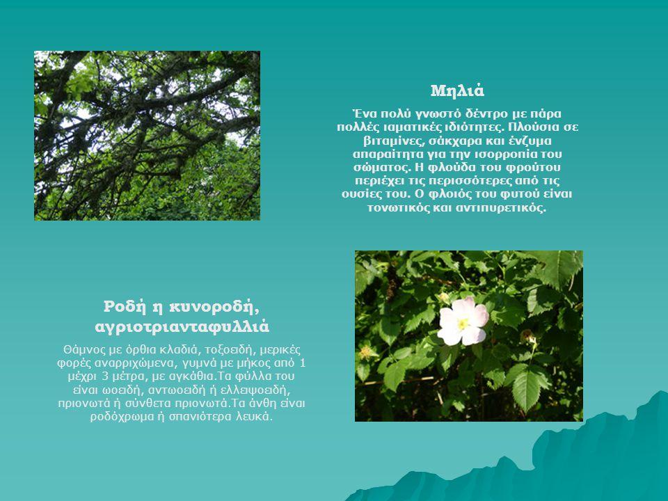 Μηλιά Ένα πολύ γνωστό δέντρο με πάρα πολλές ιαματικές ιδιότητες. Πλούσια σε βιταμίνες, σάκχαρα και ένζυμα απαραίτητα για την ισορροπία του σώματος. Η