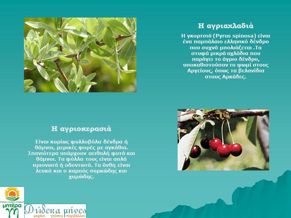 Η αγριαχλαδιά Η γκορτσιά (Pyrus spinosa) είναι ένα παμπάλαιο ελληνικό δένδρο που συχνά μπολιάζεται.Τα στυφά μικρά αχλάδια που παράγει το άγριο δένδρο,
