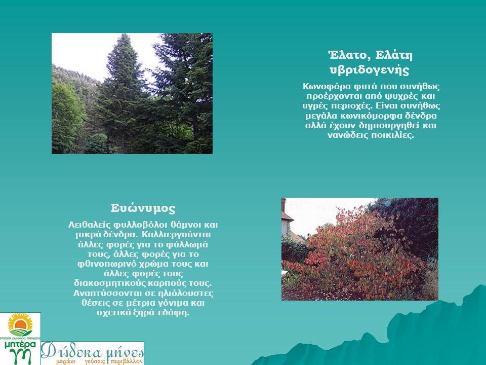 Έλατο, Ελάτη υβριδογενής Κωνοφόρα φυτά που συνήθως προέρχονται από ψυχρές και υγρές περιοχές. Είναι συνήθως μεγάλα κωνικόμορφα δένδρα αλλά έχουν δημιο