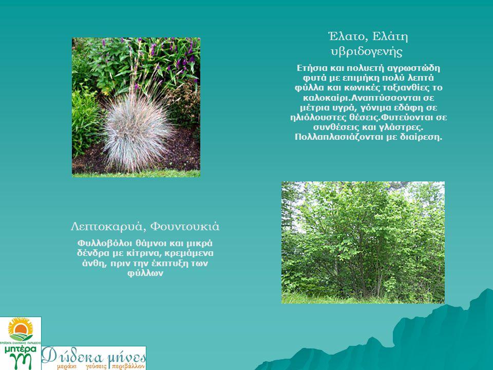Έλατο, Ελάτη υβριδογενής Ετήσια και πολυετή αγρωστώδη φυτά με επιμήκη πολύ λεπτά φύλλα και κωνικές ταξιανθίες το καλοκαίρι.Αναπτύσσονται σε μέτρια υγρ