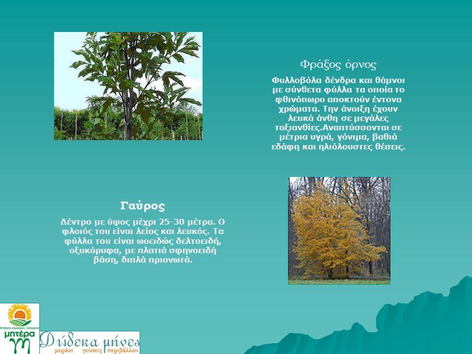 Φράξος όρνος Φυλλοβόλα δένδρα και θάμνοι με σύνθετα φύλλα τα οποία το φθινόπωρο αποκτούν έντονα χρώματα. Την άνοιξη έχουν λευκά άνθη σε μεγάλες ταξιαν