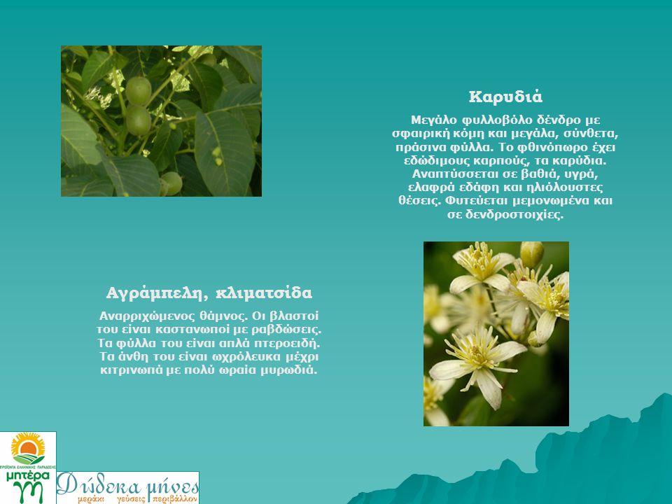 Καρυδιά Μεγάλο φυλλοβόλο δένδρο με σφαιρική κόμη και μεγάλα, σύνθετα, πράσινα φύλλα. Το φθινόπωρο έχει εδώδιμους καρπούς, τα καρύδια. Αναπτύσσεται σε