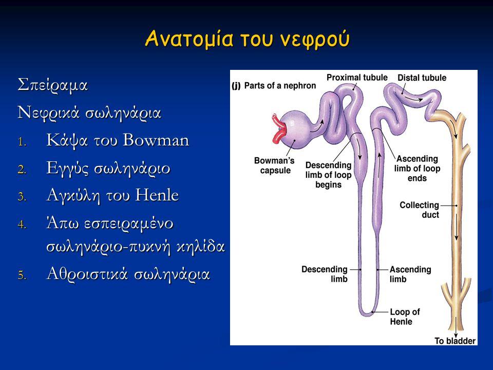 Ανατομία του νεφρού Σπείραμα Νεφρικά σωληνάρια 1. Κάψα του Bowman 2. Εγγύς σωληνάριο 3. Αγκύλη του Ηenle 4. Άπω εσπειραμένο σωληνάριο-πυκνή κηλίδα 5.