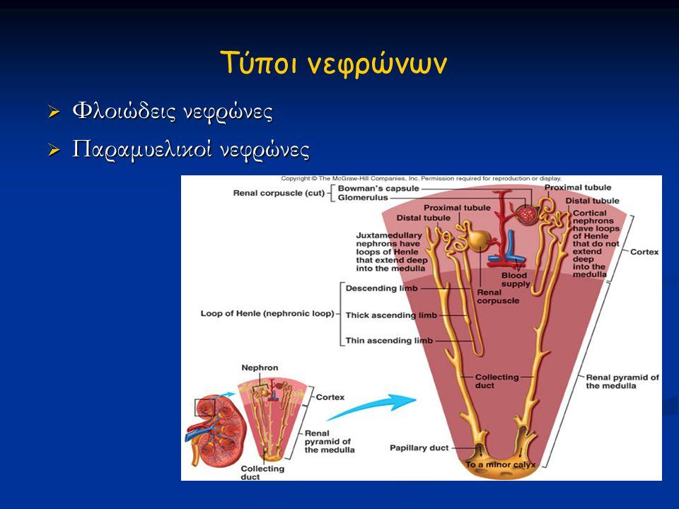 Aγγείωση νεφρού  Νεφρική αρτηρία~τοξοειδείς αρτ.~μεσολοβιακές αρτ ~ προσαγωγά αρτηριόλια~αγγειακό σπείραμα~απαγωγά αρτηριόλια ~ περισωληνα- ριακά τριχοειδή~μεσολοβιακές φλ.~τοξοειδείς φλ.~νεφρική φλέβα.