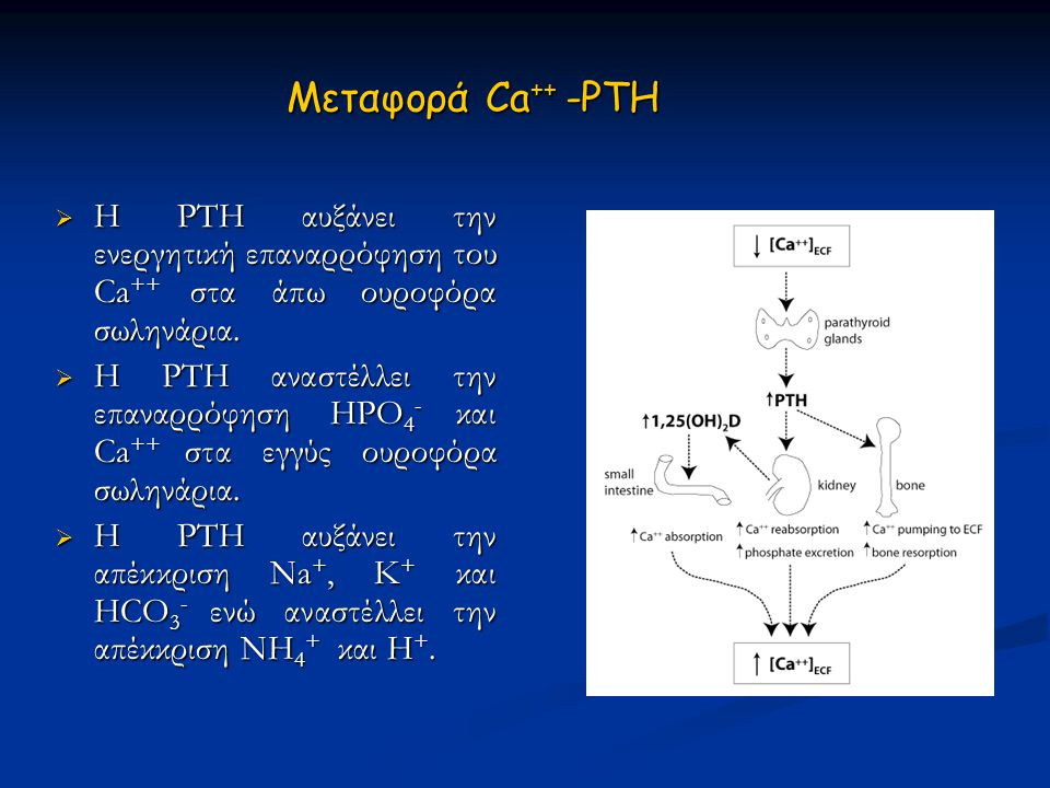 Μεταφορά Ca ++ -PTH  Η PTH αυξάνει την ενεργητική επαναρρόφηση του Ca ++ στα άπω ουροφόρα σωληνάρια.  Η PTH αναστέλλει την επαναρρόφηση HPO 4 - και