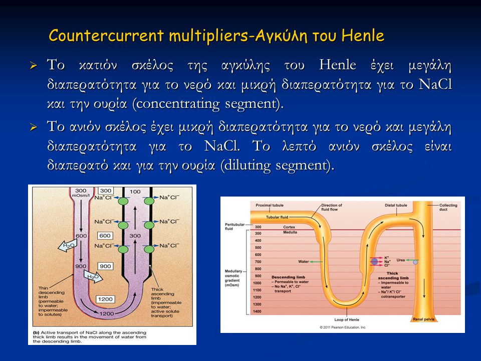 Countercurrent multipliers-Αγκύλη του Ηenle  Το κατιόν σκέλος της αγκύλης του Ηenle έχει μεγάλη διαπερατότητα για το νερό και μικρή διαπερατότητα για