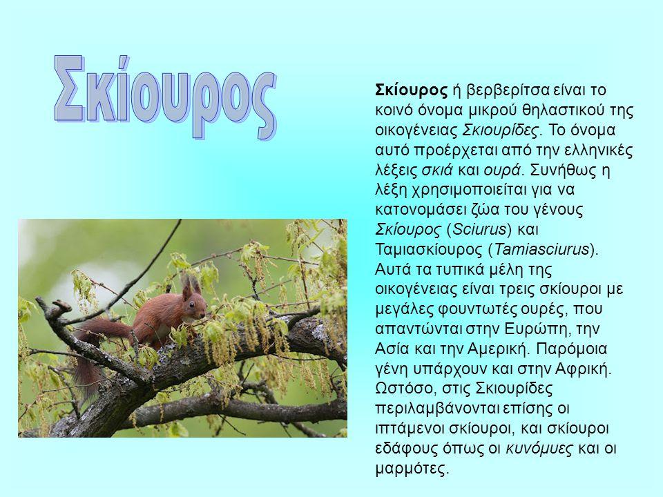 Σκίουρος ή βερβερίτσα είναι το κοινό όνομα μικρού θηλαστικού της οικογένειας Σκιουρίδες.