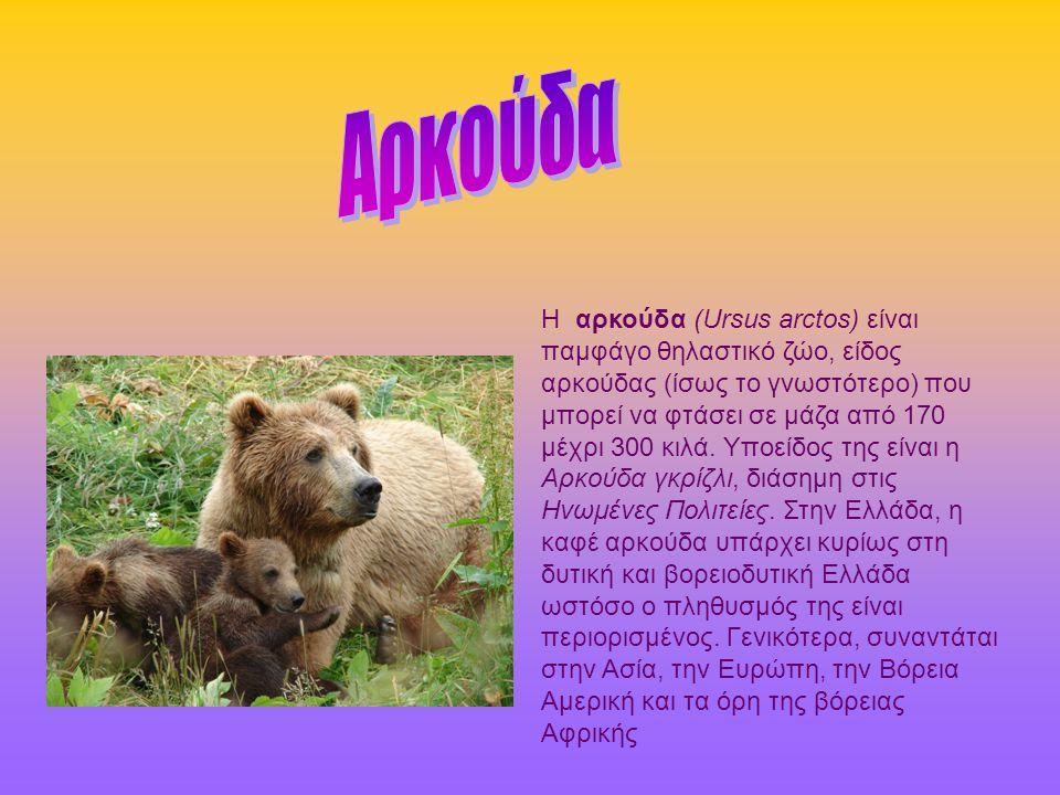 Η αρκούδα (Ursus arctos) είναι παμφάγο θηλαστικό ζώο, είδος αρκούδας (ίσως το γνωστότερο) που μπορεί να φτάσει σε μάζα από 170 μέχρι 300 κιλά.