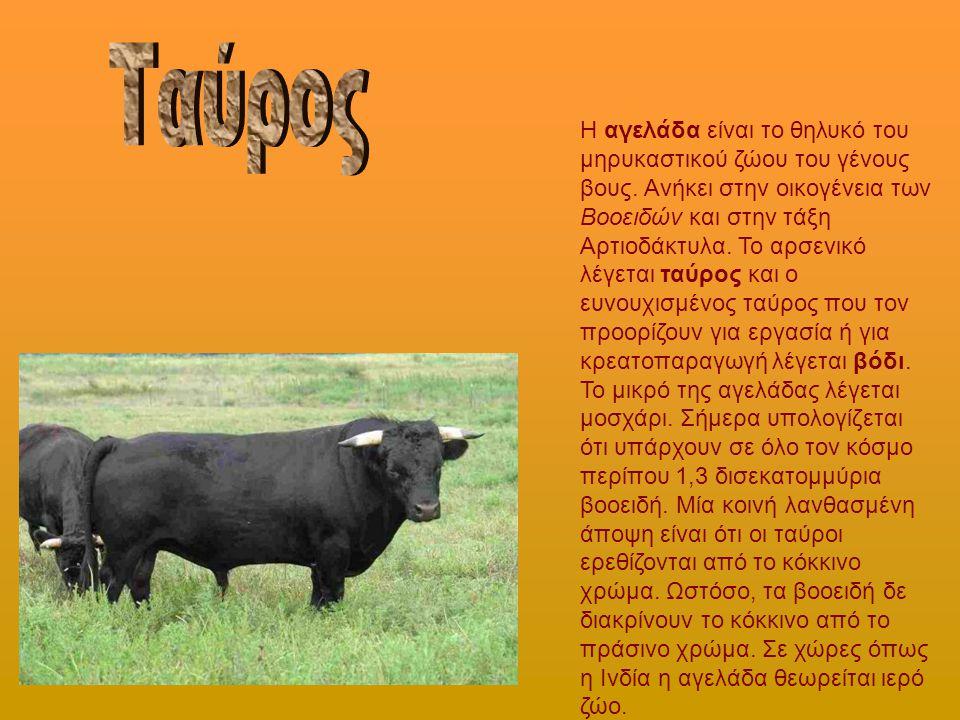 Η αγελάδα είναι το θηλυκό του μηρυκαστικού ζώου του γένους βους. Ανήκει στην οικογένεια των Βοοειδών και στην τάξη Αρτιοδάκτυλα. Το αρσενικό λέγεται τ