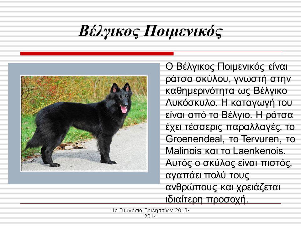 1o Γυμνάσιο Βριλησσίων 2013- 2014 Ο Βέλγικος Ποιμενικός είναι ράτσα σκύλου, γνωστή στην καθημερινότητα ως Βέλγικο Λυκόσκυλο.