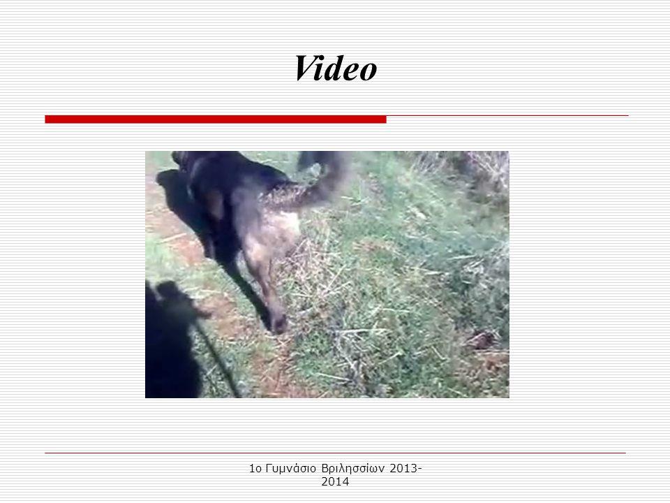 1o Γυμνάσιο Βριλησσίων 2013- 2014 Ο Μολοσσός Ηπείρου είναι σκύλος μεγάλου μεγέθους, με δυνατό κορμό, δυνατά κόκαλα, μεγάλο κεφάλι και μέσου μήκους μαν