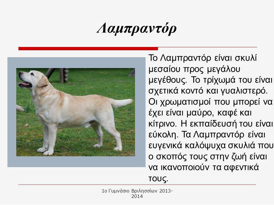 1o Γυμνάσιο Βριλησσίων 2013- 2014 Το Λαμπραντόρ είναι σκυλί μεσαίου προς μεγάλου μεγέθους.