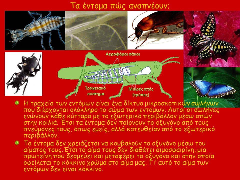 Τα έντομα πώς αναπνέουν; Η τραχεία των εντόμων είναι ένα δίκτυο μικροσκοπικών σωλήνων που διέρχονται ολόκληρο το σώμα των εντόμων. Αυτοί οι σωλήνες εν