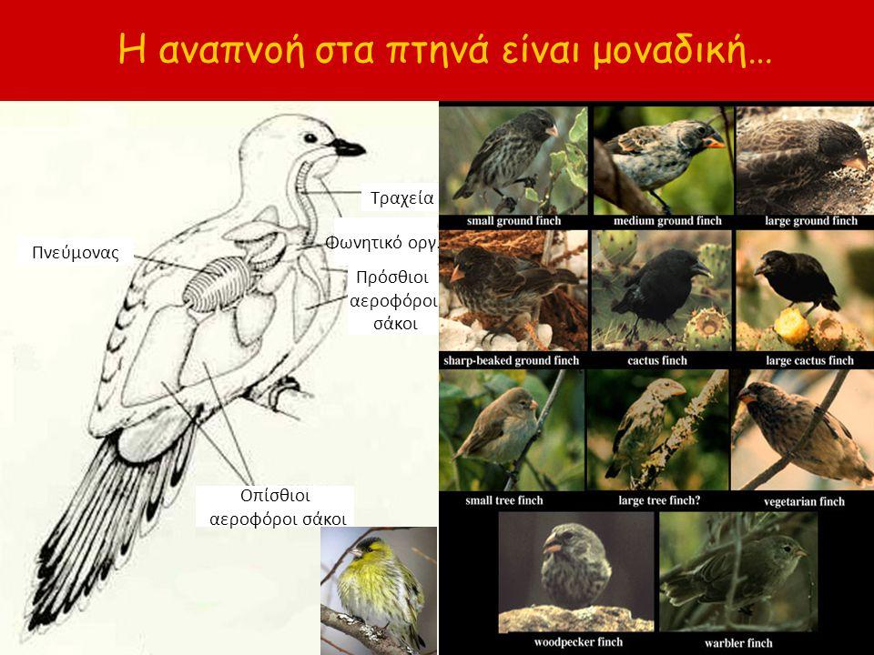 Η αναπνοή στα πτηνά είναι μοναδική… Πνεύμονας Πρόσθιοι αεροφόροι σάκοι Τραχεία Φωνητικό οργ. Οπίσθιοι αεροφόροι σάκοι