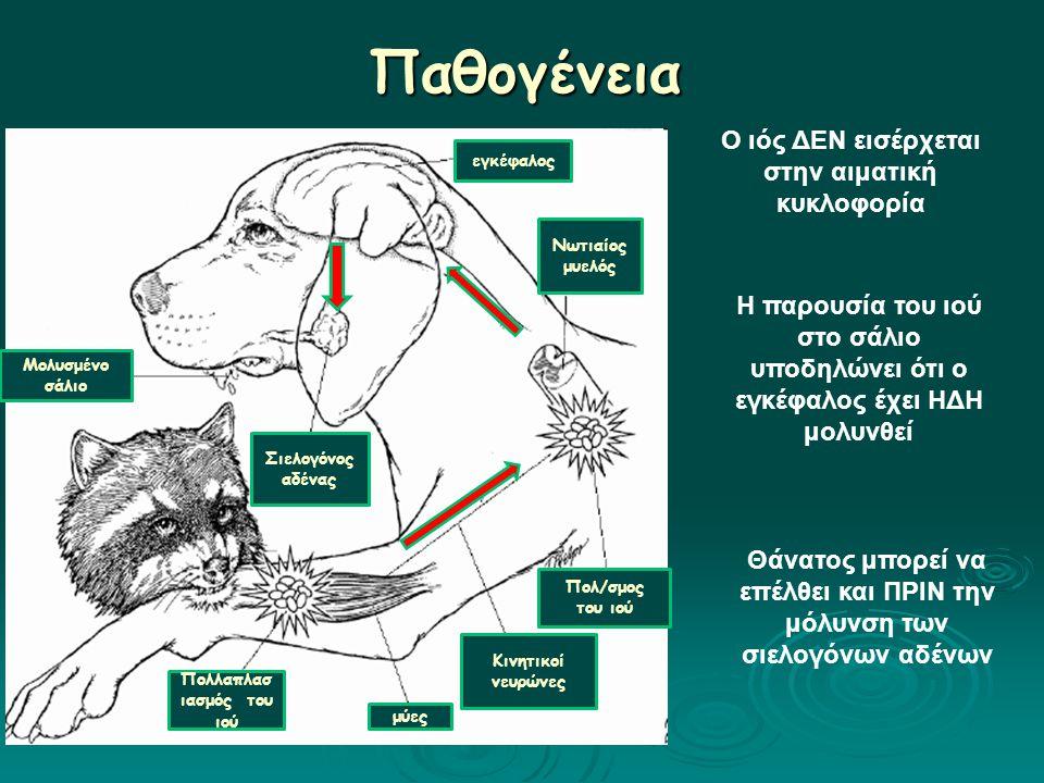 Παθογένεια Μολυσμένο σάλιο Πολλαπλασ ιασμός του ιού μύες Κινητικοί νευρώνες Πολ/σμος του ιού Νωτιαίος μυελός εγκέφαλος Σιελογόνος αδένας Ο ιός ΔΕΝ εισέρχεται στην αιματική κυκλοφορία Η παρουσία του ιού στο σάλιο υποδηλώνει ότι ο εγκέφαλος έχει ΗΔΗ μολυνθεί Θάνατος μπορεί να επέλθει και ΠΡΙΝ την μόλυνση των σιελογόνων αδένων