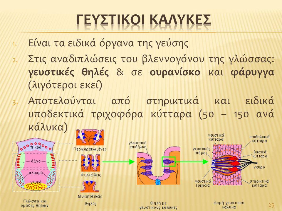 1. Είναι τα ειδικά όργανα της γεύσης 2. Στις αναδιπλώσεις του βλεννογόνου της γλώσσας: γευστικές θηλές & σε ουρανίσκο και φάρυγγα (λιγότεροι εκεί) 3.