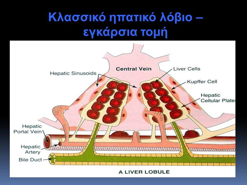 Κλασσικό ηπατικό λόβιο – εγκάρσια τομή