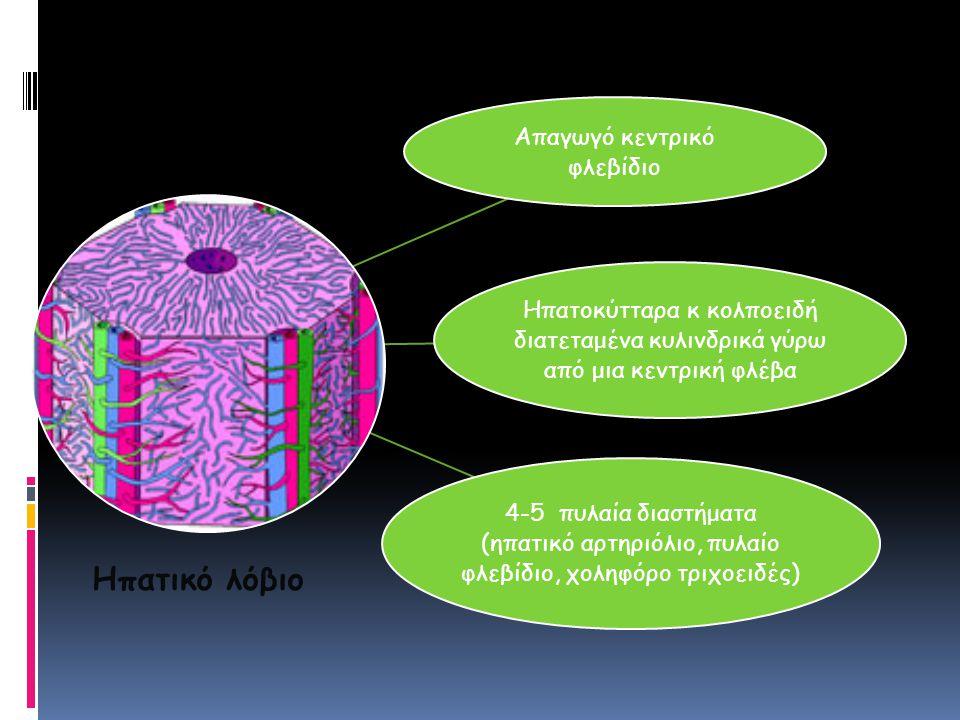 Απαγωγό κεντρικό φλεβίδιο Ηπατοκύτταρα κ κολποειδή διατεταμένα κυλινδρικά γύρω από μια κεντρική φλέβα 4-5 πυλαία διαστήματα (ηπατικό αρτηριόλιο, πυλαί