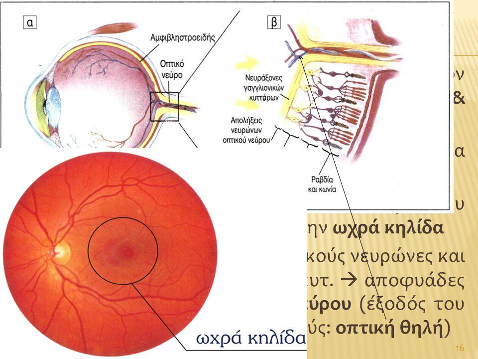  Τροποποιημένα νευρικά κύτταρα στον αμφιβληστροειδή: οι απολήξεις τους (ραβδία & κωνία) περιέχουν φωτοευαίσθητες χρωστικές  Ραβδία: πολυάριθμα (150